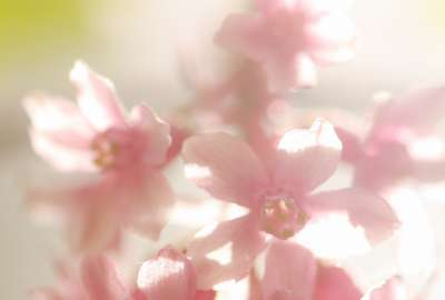 Flowering Currant in Sunlight wallpaper