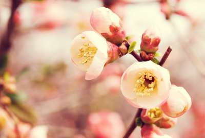 Flowering Quince wallpaper