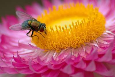 Fly Flower Macro Pink wallpaper