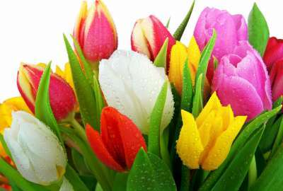 Fresh Tulips wallpaper