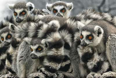 Funny Lemur Group wallpaper