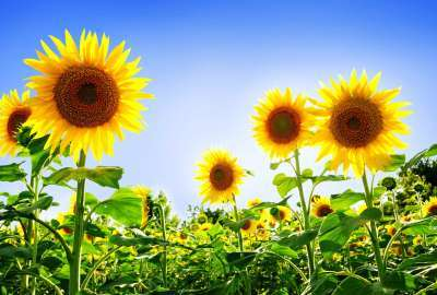 Gorgeous Sunflowers wallpaper