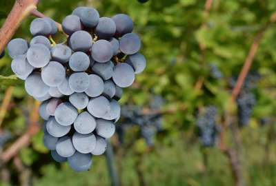 Grapes 942 wallpaper
