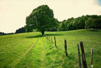 Green Landscape With Single Tree wallpaper