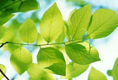 Green Leaves 24881 wallpaper