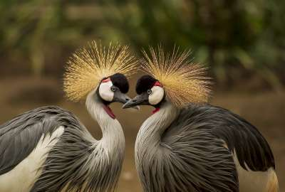 Grey Crowned Couple wallpaper