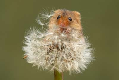 Harvest Mouse wallpaper