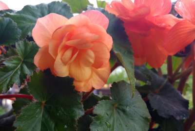Illumination Apricot Tuberous Begonia wallpaper