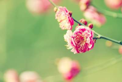Japanese Apricot wallpaper