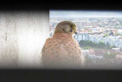 Kestrel Outside Window wallpaper