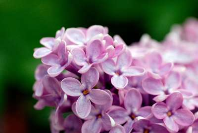 Light Purple Flowers 1080p wallpaper