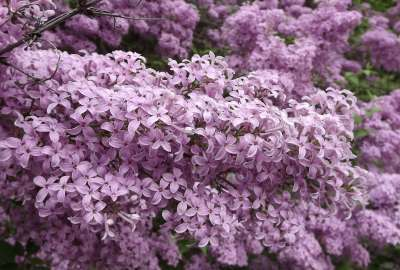 Lilac Blossoms wallpaper