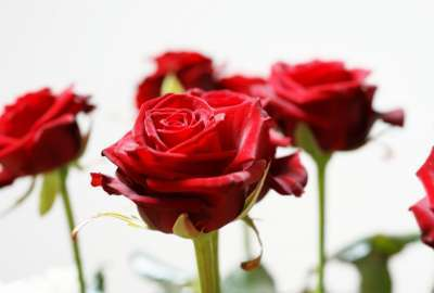 Long Stem Red Roses 25850 wallpaper