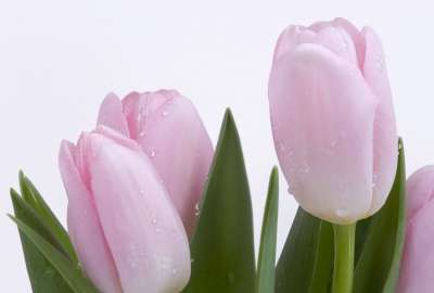 Lovely Pink Buds wallpaper