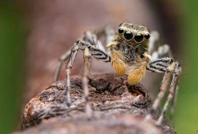 Maevia Inclemens Dimorphic Jumping Spider wallpaper