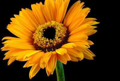 Orange Sun Flower wallpaper
