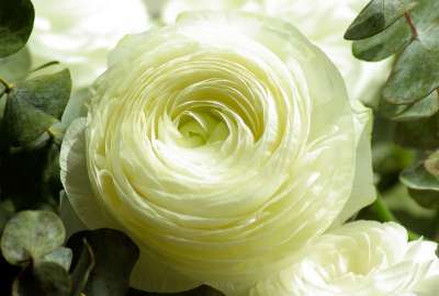 Persian Buttercup White Flower wallpaper