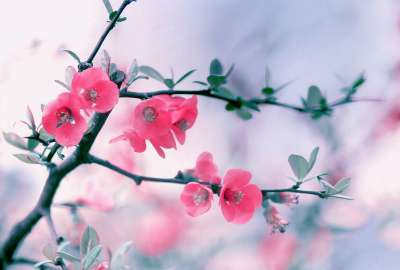 Pink Flowers From Tree wallpaper