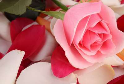 Pink Rose Beautiful wallpaper