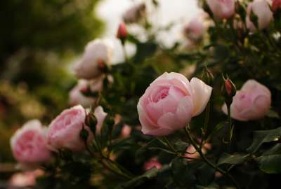 Pink Roses Closeup wallpaper