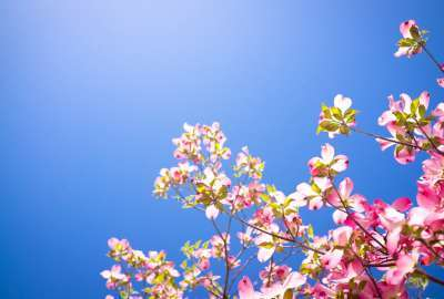 Pink Tree Flowers Background wallpaper