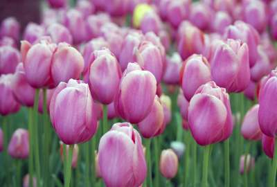 Pink Tulips wallpaper