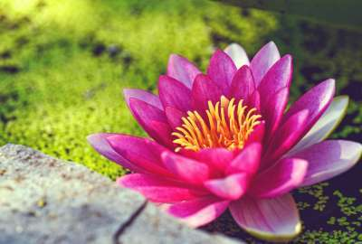 Pink Water Lily Flower wallpaper