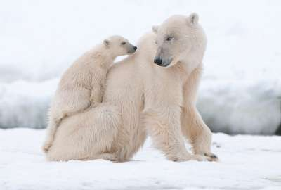 Polar Bear With His Cub wallpaper