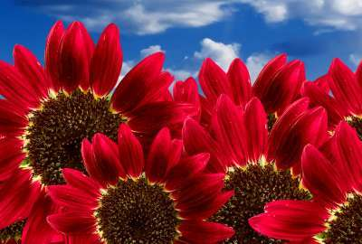 Pure Red Sunflowers wallpaper