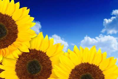 Pure Yellow Sunflowers wallpaper