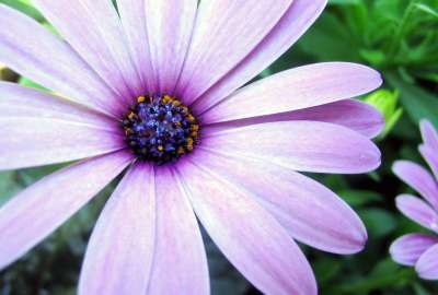 Purple Aster wallpaper