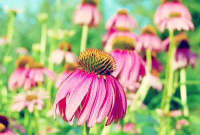 Purple Coneflower wallpaper