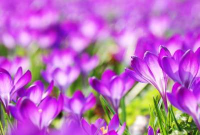 Purple Crocus Flowers wallpaper