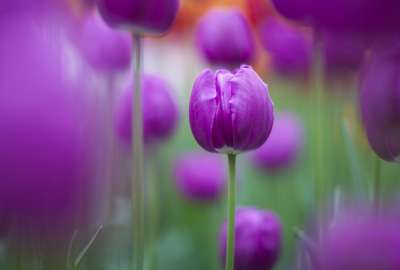 Purple Tulips wallpaper
