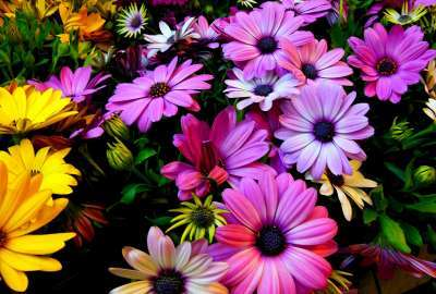 Purple Yellow Daisy Flowers wallpaper