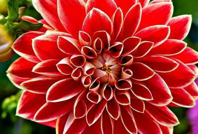 Red Dahlia wallpaper