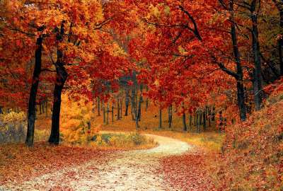 Red Leaf Trees wallpaper