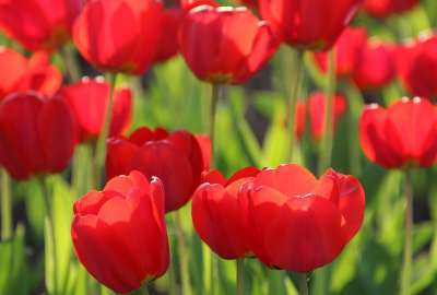Red Tulips 4K wallpaper