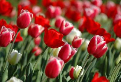 Red Tulips in Spring wallpaper