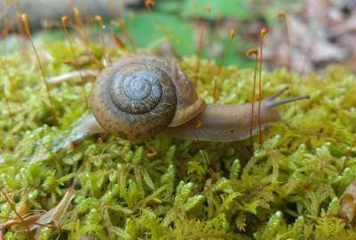 Snail on Moss wallpaper