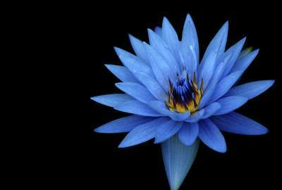 Sony Xperia Z Stock Blue Flower wallpaper