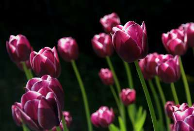 Spring Pink Tulips wallpaper