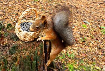 Squirrel Taking From Basket wallpaper