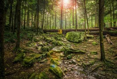 Sun Trough Trees Forest View wallpaper