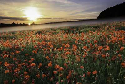 Sunset Over Red Flower Landscape wallpaper