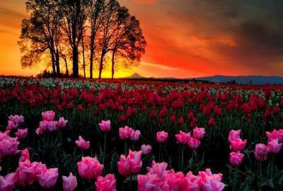 Sunset Tulips Landscape wallpaper