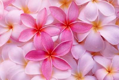 Tropical Plumeria wallpaper