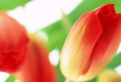 Tulip Flowers wallpaper