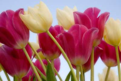 Tulips and Sky wallpaper