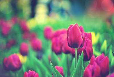 Tulips Garden wallpaper